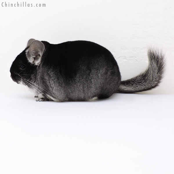 17080 Large Blocky Premium Production Quality Black Velvet Female Chinchilla