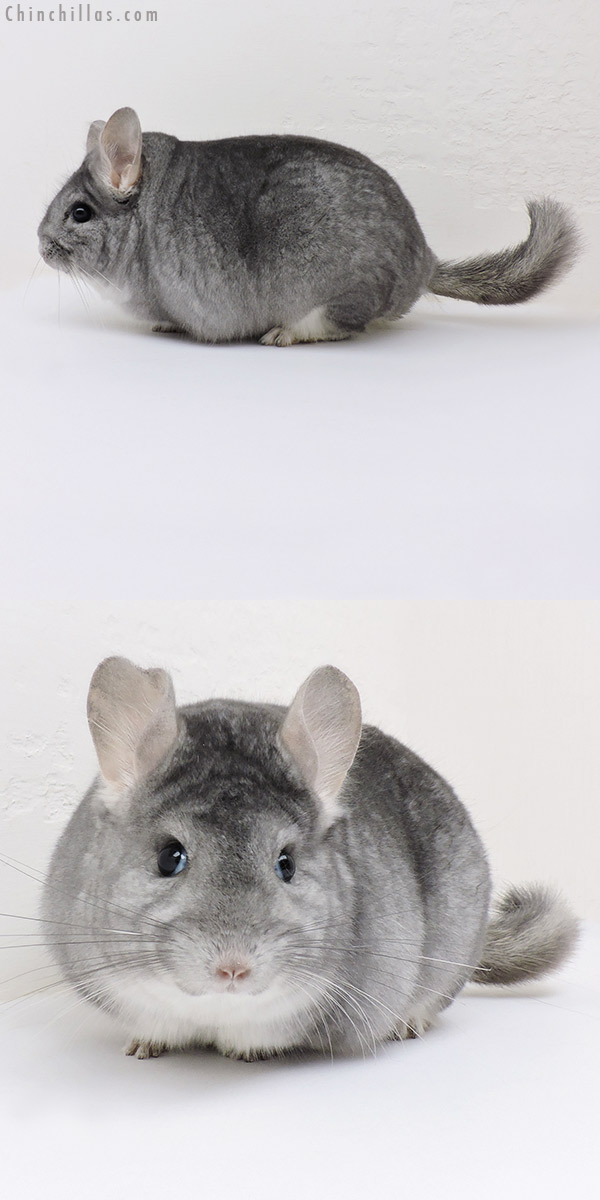 17071 Blocky Herd Improvement Quality Sapphire Male Chinchilla