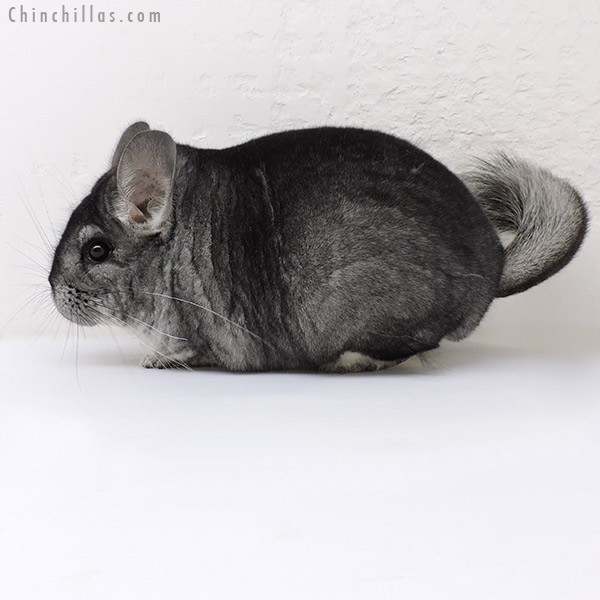 17043 Premium Production Quality Standard Female Chinchilla