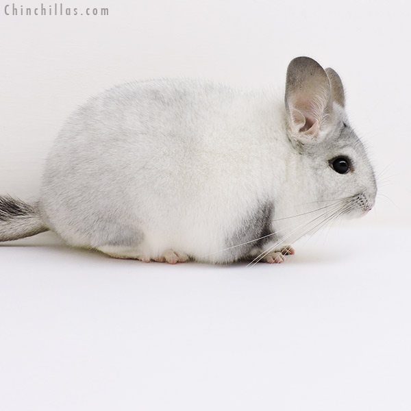 17059 Show Quality White Mosaic Female Chinchilla
