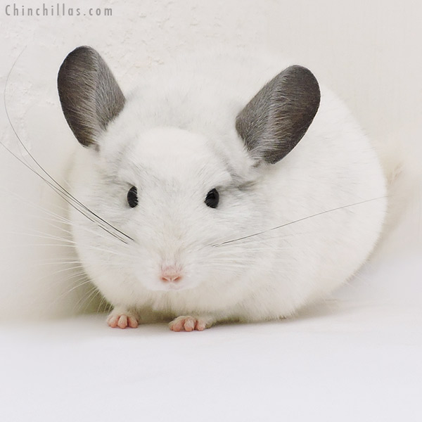 17072 Show Quality Violet & White Mosaic Male Chinchilla