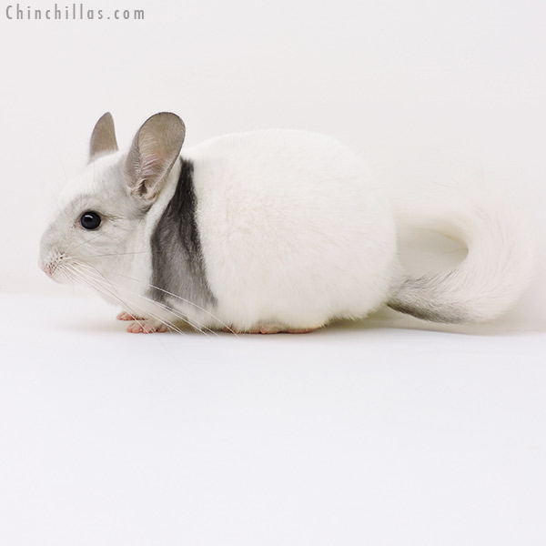 17048 Violet & White Mosaic Male Chinchilla