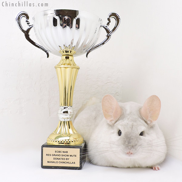 17078 Grand Show Champion & National 3rd Best Class Champion Pink White Female Chinchilla