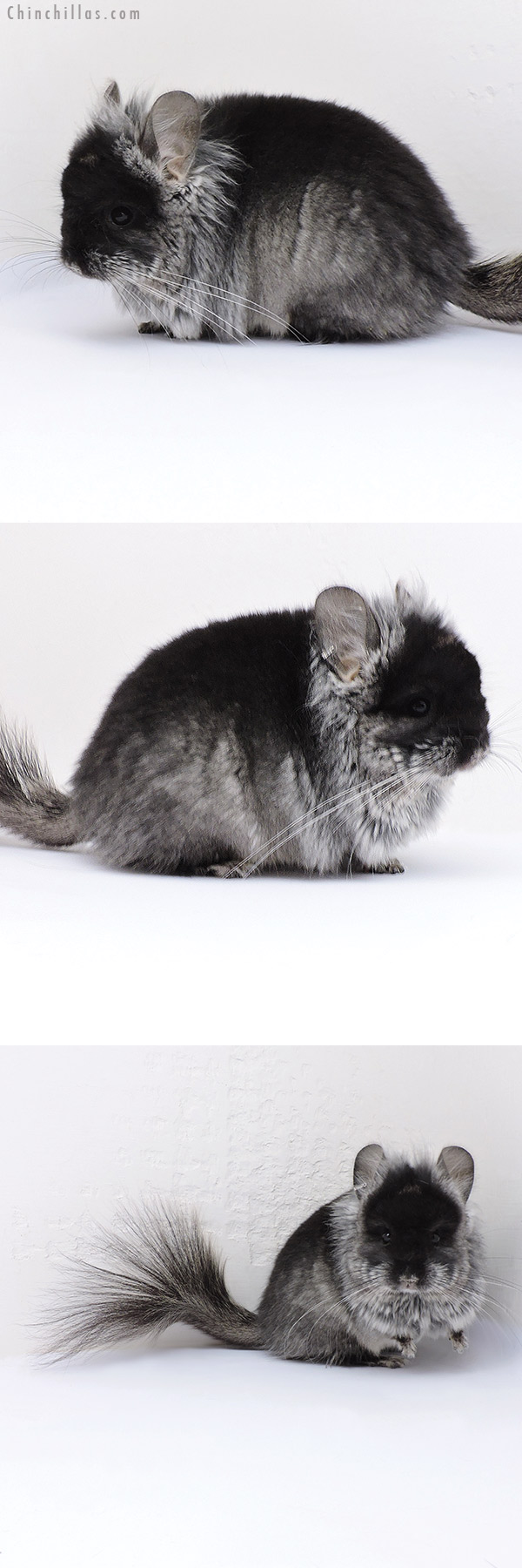 17085 Exceptional Black Velvet ( Violet Carrier ) G2 CCCU Royal Persian Angora Male with Lion Mane Chinchilla