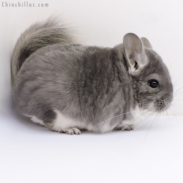 17088 Violet Male Chinchilla