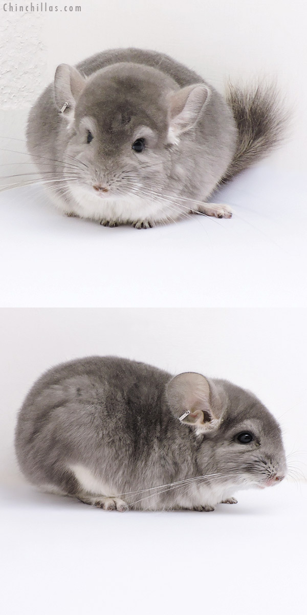 17084 Violet ( CCCU Royal Persian Angora Carrier ) Female Chinchilla