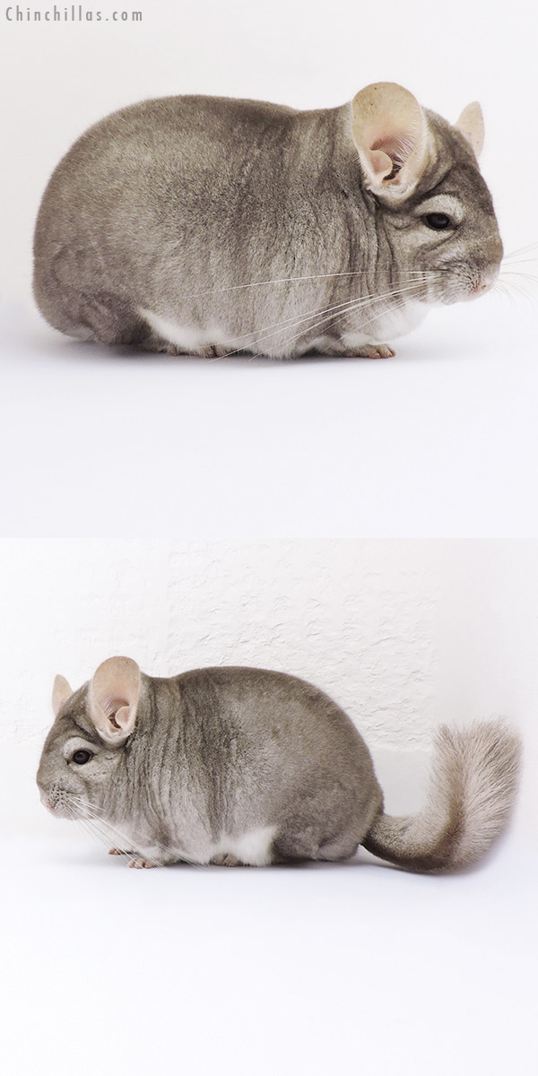 17081 National Reserve Class Champion Beige Female Chinchilla