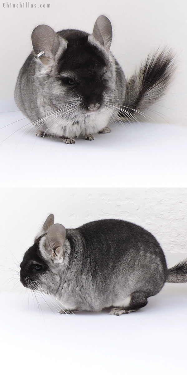 17087 Black Velvet ( CCCU Royal Persian Angora & Violet Carrier ) Female Chinchilla