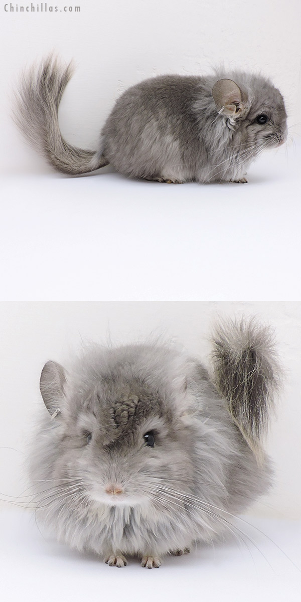17095 Exceptional Violet G2 CCCU Royal Persian Angora Male with Lion Mane and Ear Tufts Chinchilla
