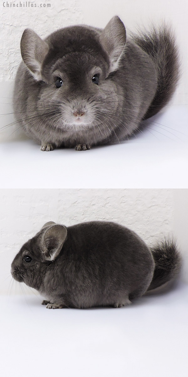 17096 Blocky Show Quality Wrap Around Violet Male Chinchilla