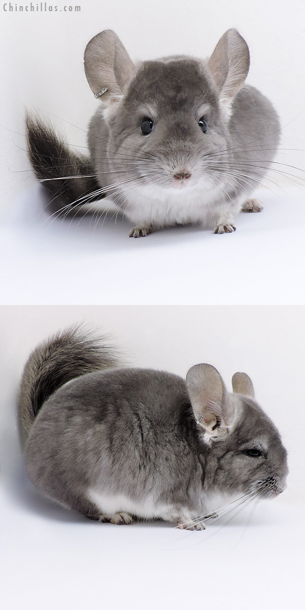 17090 Violet ( CCCU Royal Persian Angora Carrier ) Female Chinchilla