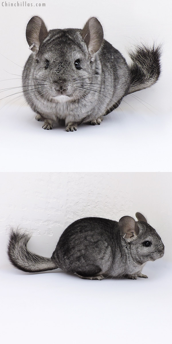 17091 Hetero Ebony ( CCCU Royal Persian Angora Carrier ) Female Chinchilla