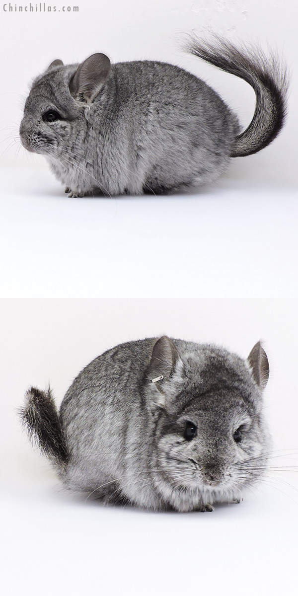 17092 Blocky Standard CCCU Royal Persian Angora Female Chinchilla