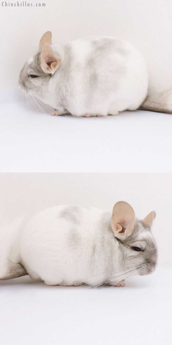 17097 Show Quality Tan & White Mosaic Male Chinchilla