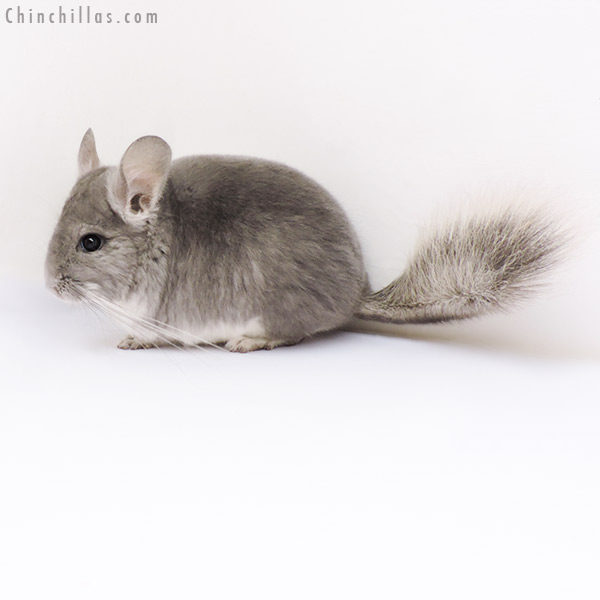 17100 Violet ( CCCU Royal Persian Angora Carrier ) Female Chinchilla
