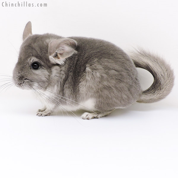 17101 Violet ( CCCU Royal Persian Angora Carrier ) Female Chinchilla