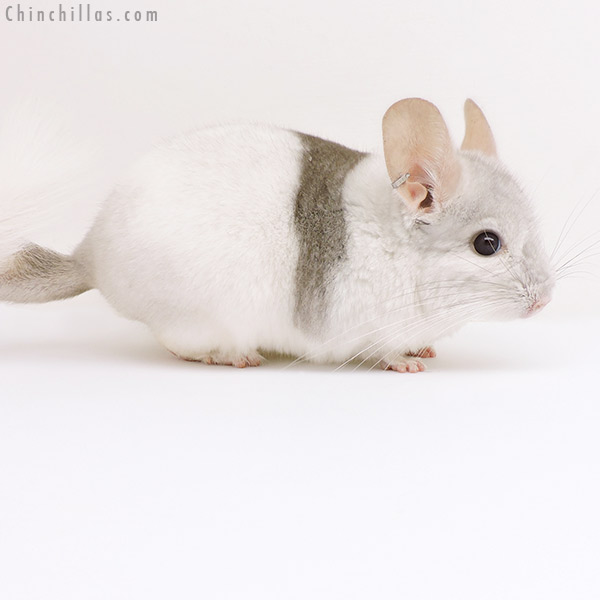 17102 Extreme Beige & White Mosaic ( CCCU Royal Persian Angora Carrier ) Male Chinchilla