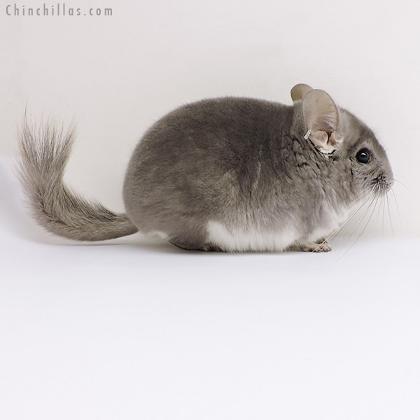 17103 Violet ( CCCU Royal Persian Angora Carrier ) Male Chinchilla