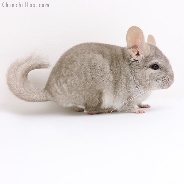 17104 Beige ( CCCU Royal Persian Angora Carrier ) Male Chinchilla