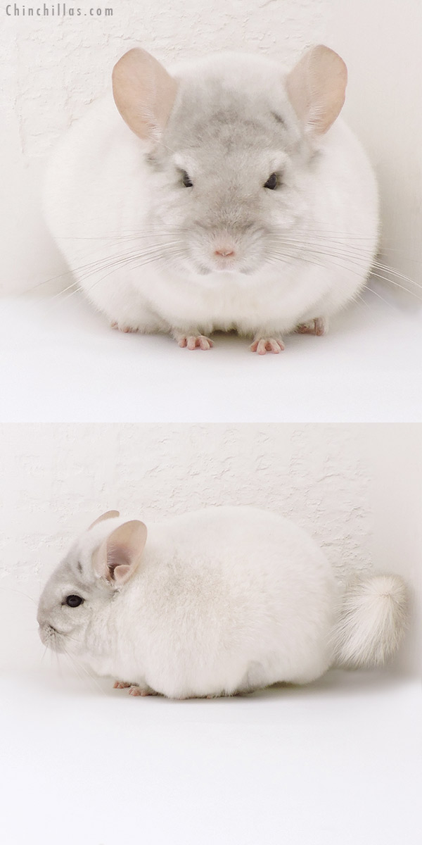 17107 Blocky Premium Production Quality Pink White Female Chinchilla