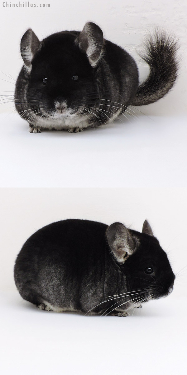 17105 Large Blocky Show Quality Black Velvet Male Chinchilla