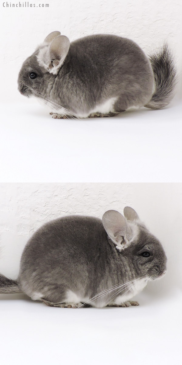 17110 Show Quality TOV Violet Female Chinchilla