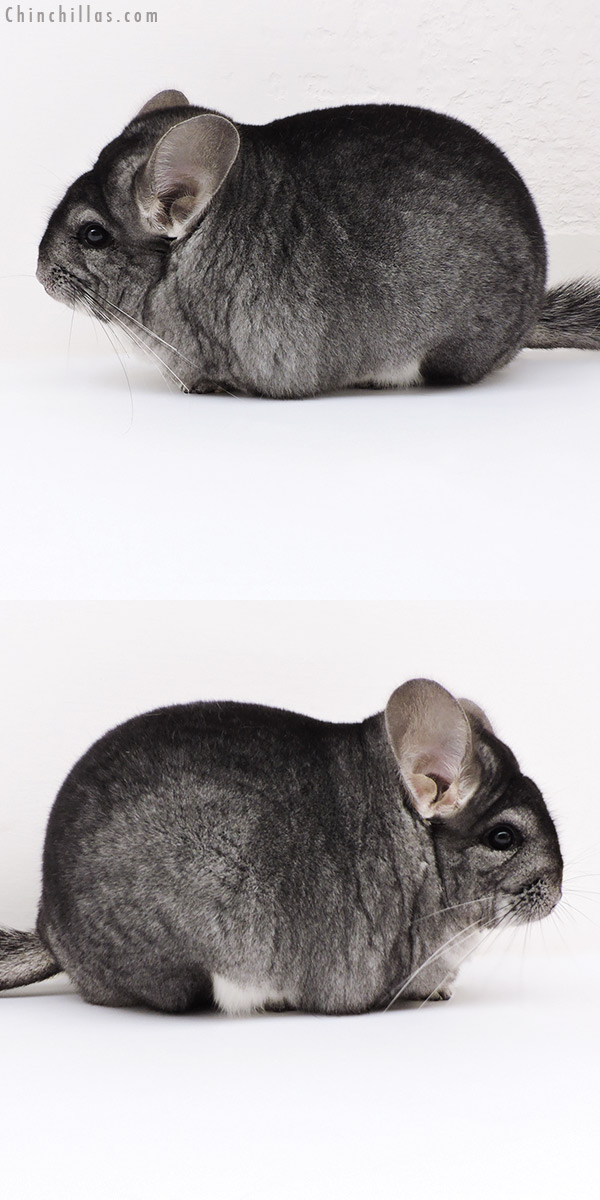 17114 Extra Large Blocky Premium Production Quality Standard Female Chinchilla