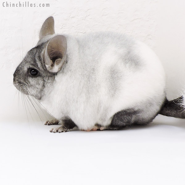 17109 Blocky Show Quality Ebony & White Mosaic Female Chinchilla