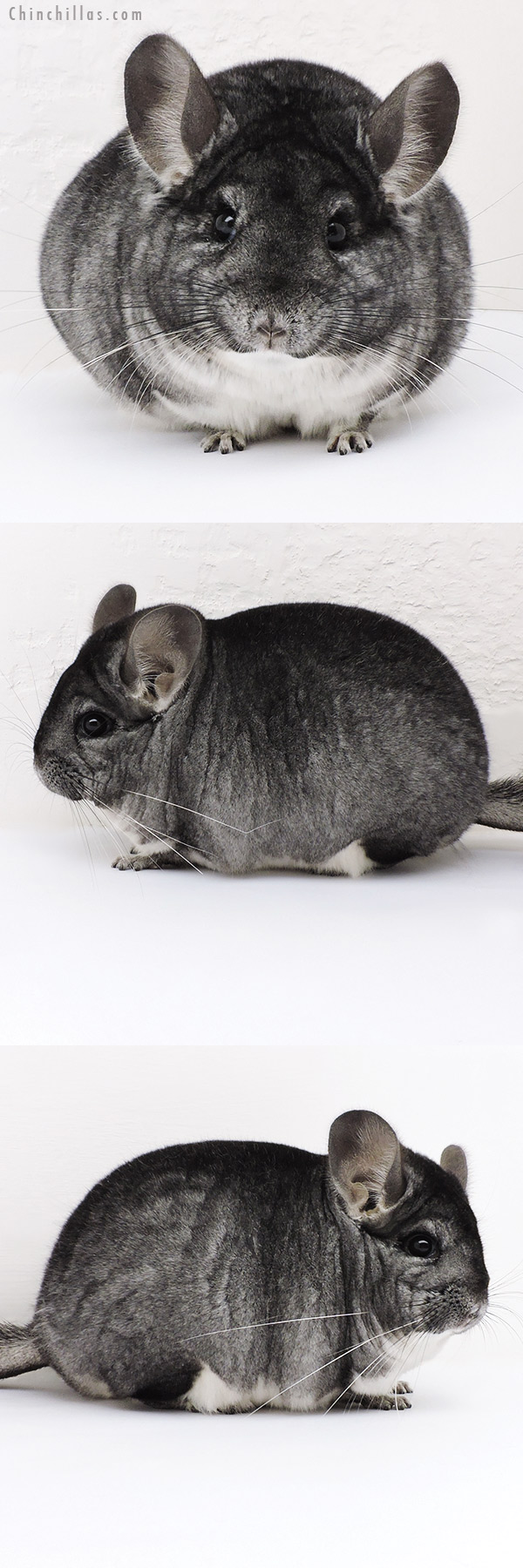 17113 Large Blocky Premium Production Quality Standard Female Chinchilla