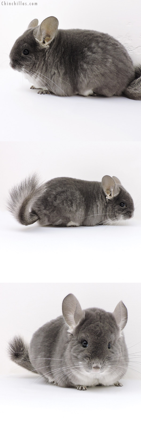 17119 Large Show Quality TOV Violet Female Chinchilla