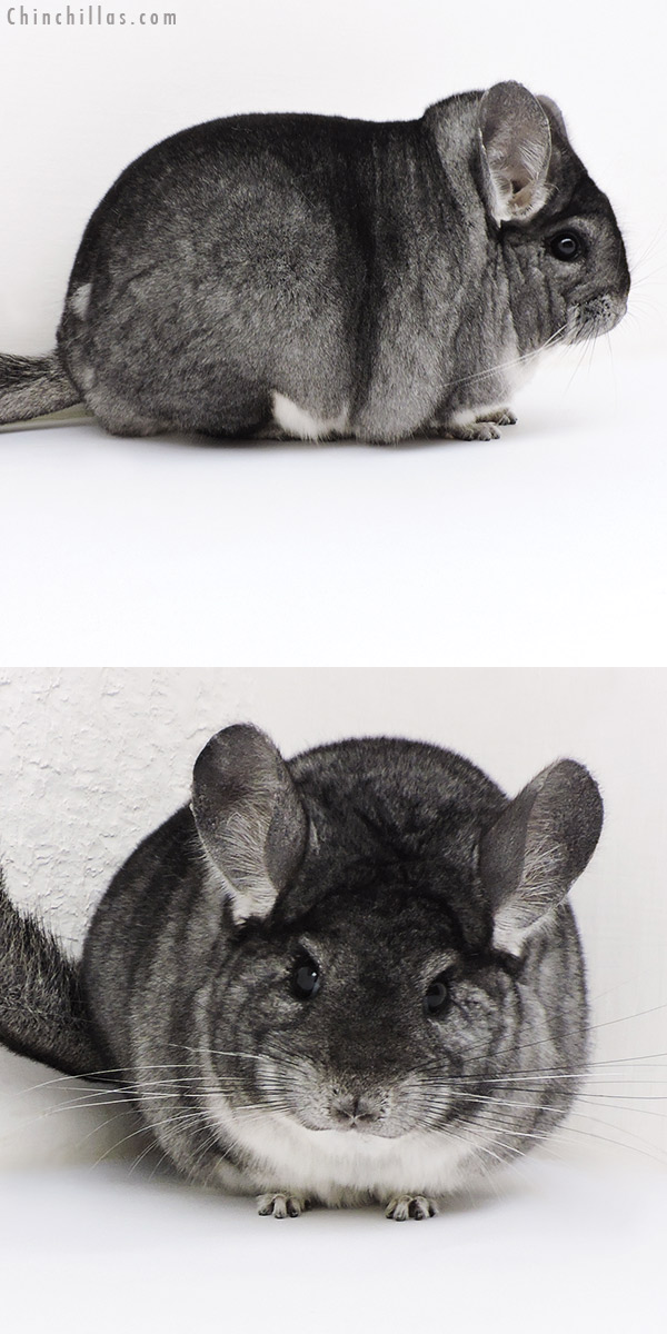 17120 Large Blocky Premium Production Quality Standard Female Chinchilla