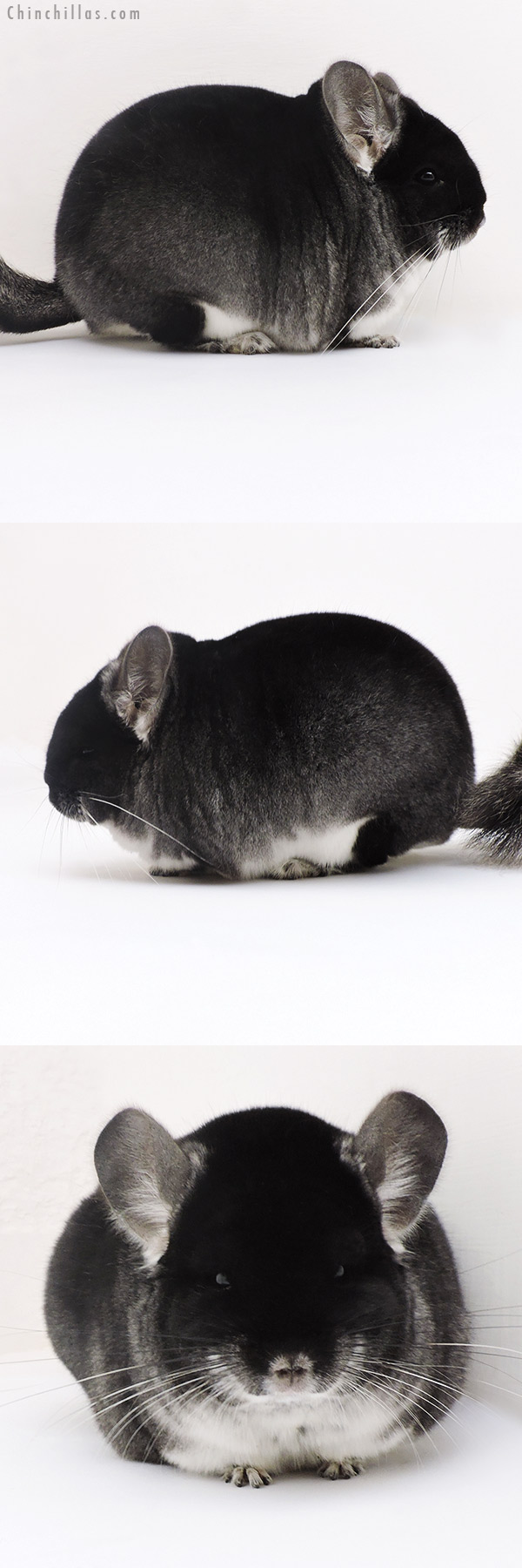17128 Blocky Brevi Type Show Quality Black Velvet Male Chinchilla