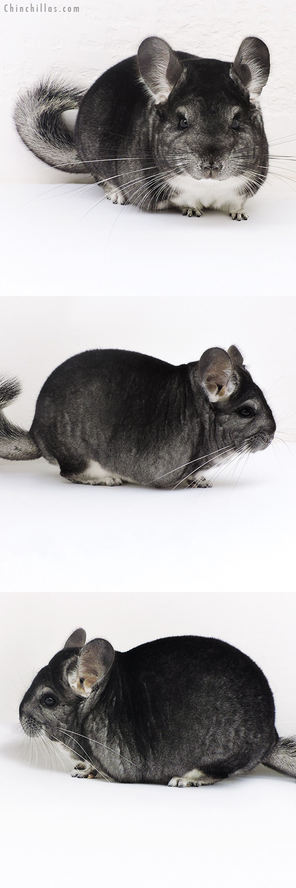 17132 Large Herd Improvement Quality Standard Male Chinchilla