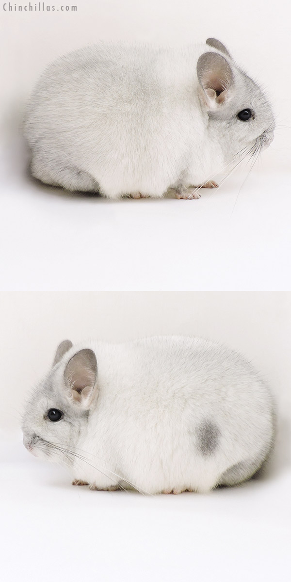 17138 Blocky Show Quality Silver Mosaic Female Chinchilla