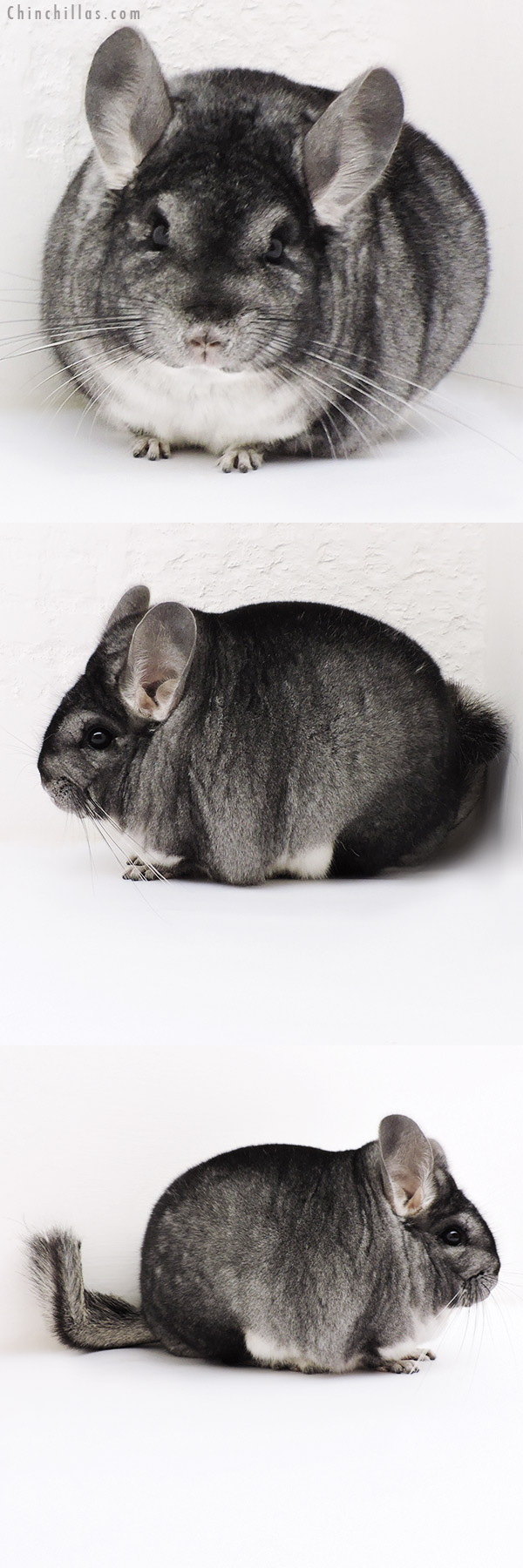17125 Blocky Premium Production Quality Standard Female Chinchilla