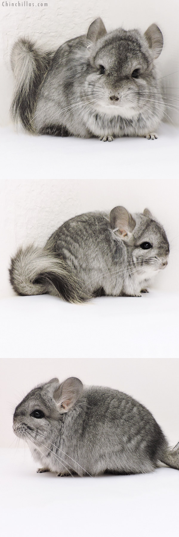 17141 Standard CCCU Royal Persian Angora Male with Lion Mane Chinchilla