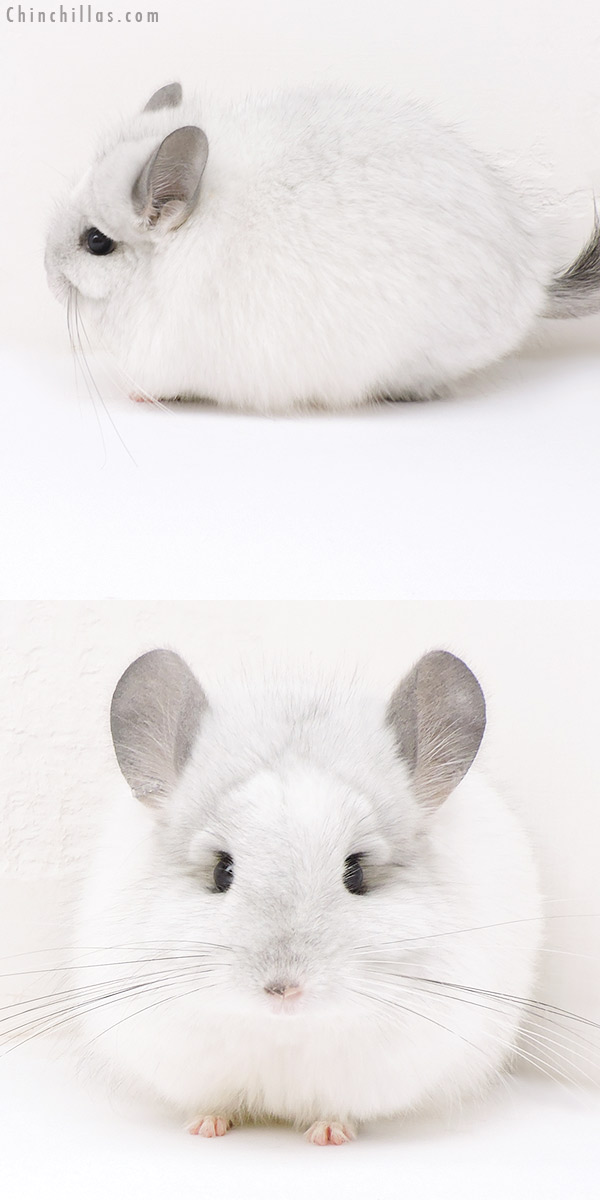 17135 Exceptional White Mosaic CCCU Royal Persian Angora Female Chinchilla
