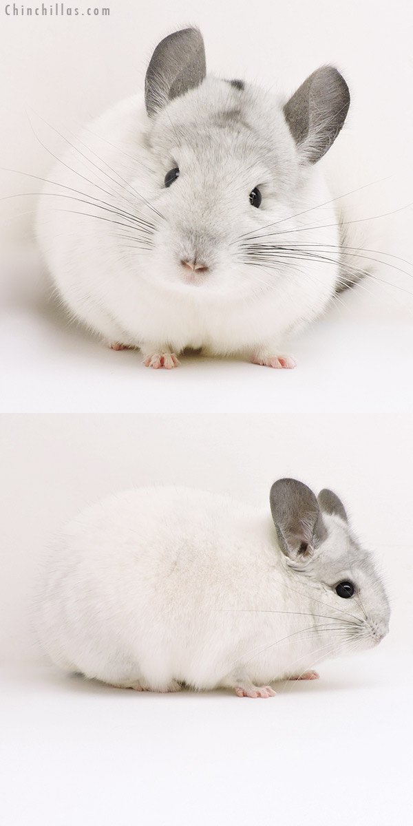 17127 Show Quality White Mosaic Male Chinchilla
