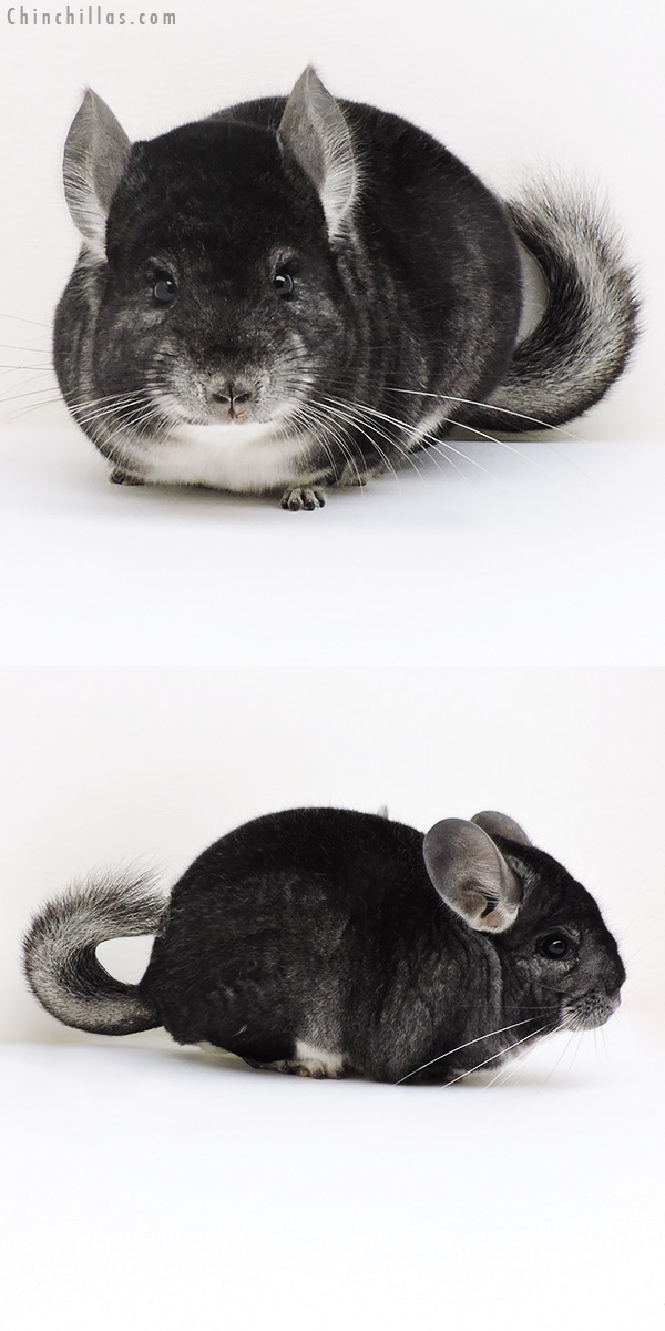 17159 Premium Production Quality Dark Standard Female Chinchilla