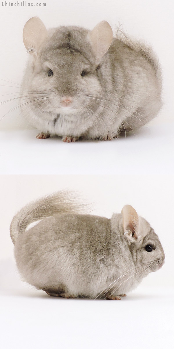 17153 Exceptional Beige ( Ebony Carrier ) CCCU Royal Persian Angora Female Chinchilla