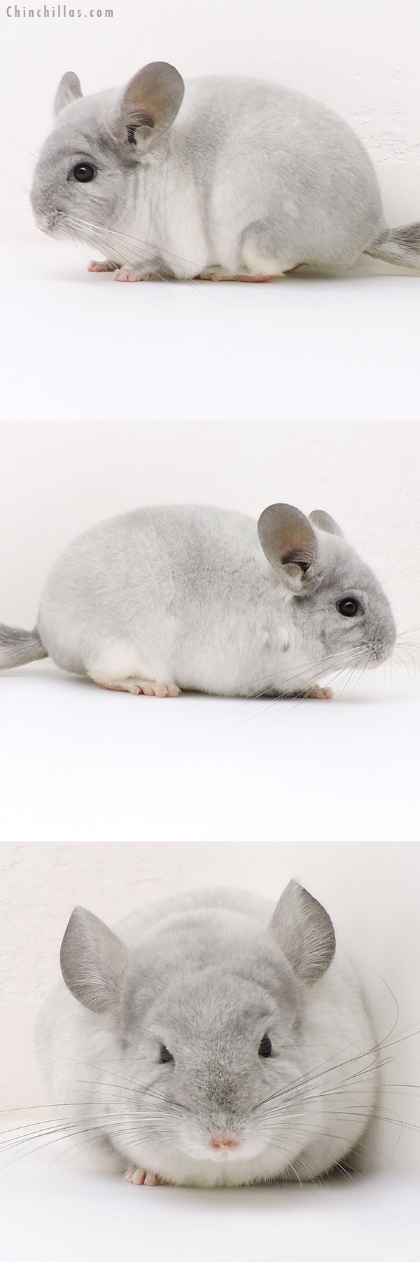 17156 Show Quality TOV Violet & White Mosaic Female Chinchilla