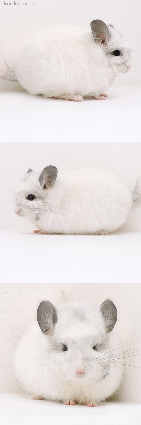 17151 Exceptional White Mosaic CCCU Royal Persian Angora Female Chinchilla