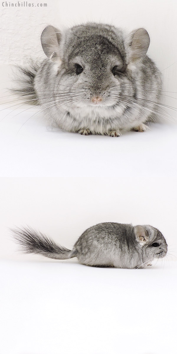 17157 Standard ( Violet Carrier ) CCCU Royal Persian Angora Female Chinchilla