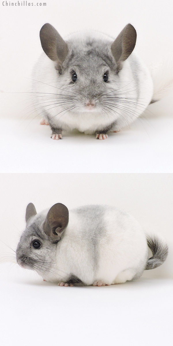 17146 Large Top Show Quality White Mosaic Male Chinchilla