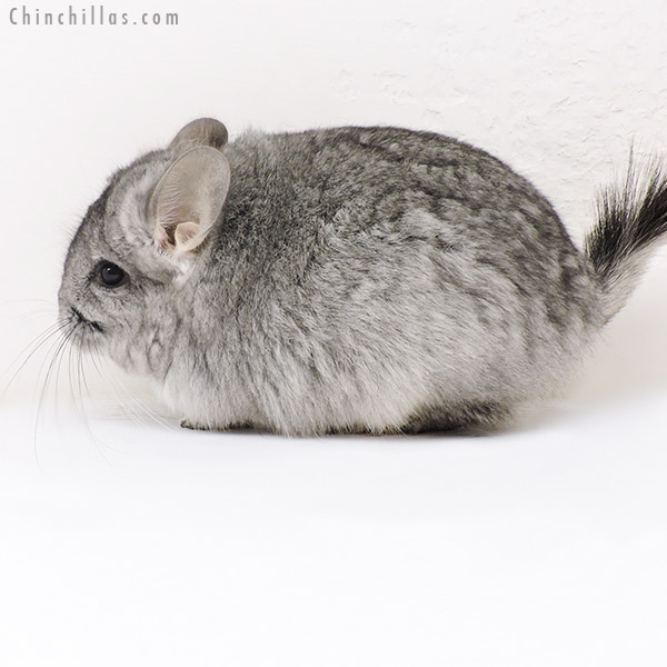 17136 Standard ( Violet Carrier ) CCCU Royal Persian Angora Female Chinchilla