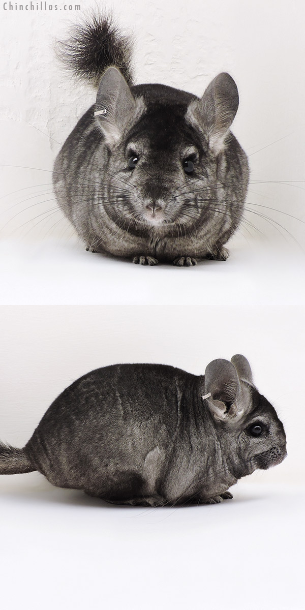 17150 Ebony ( Locken & CCCU Royal Persian Angora Carrier ) Female Chinchilla