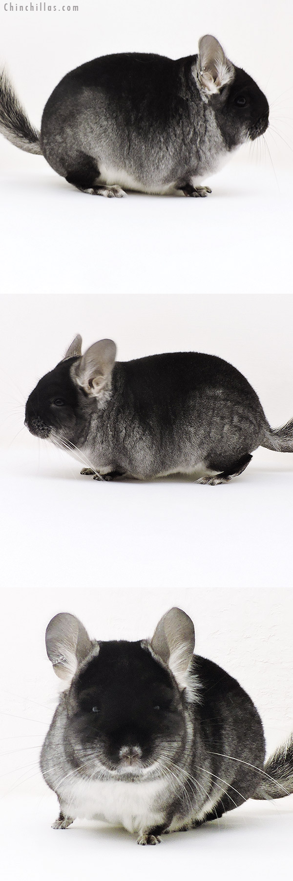 17155 Black Velvet ( CCCU Royal Persian Angora & Ebony Carrier ) Female Chinchilla