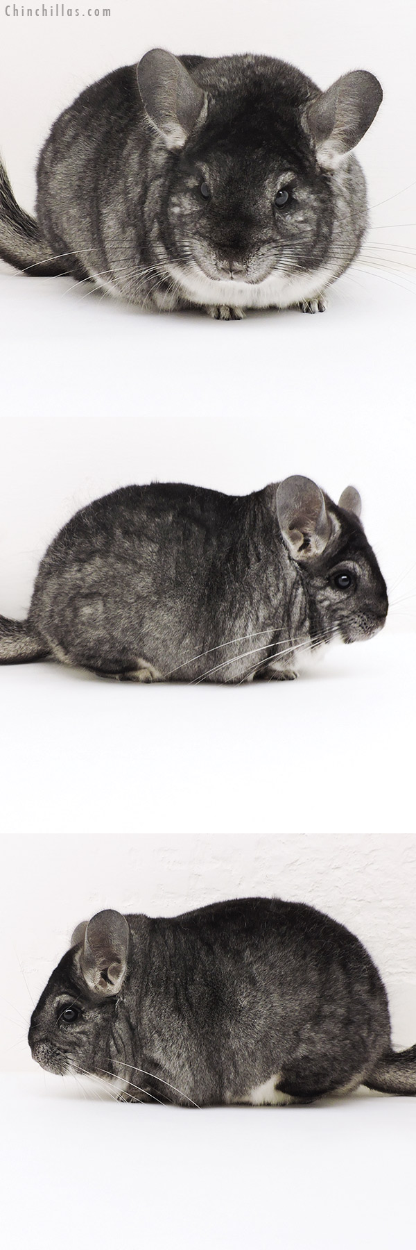 17166 Premium Production Quality Standard Female Chinchilla