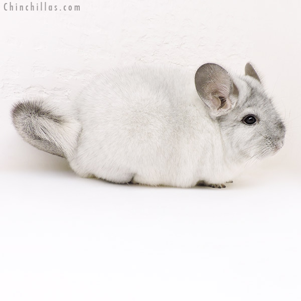 17164 Large Show Quality Silver Mosaic Female Chinchilla