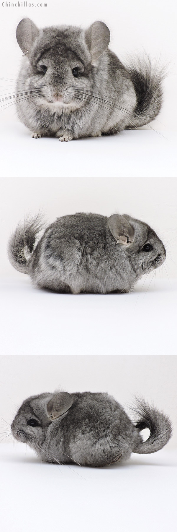 17179 Standard CCCU Royal Persian Angora ( Ebony & Locken Carrier ) Female Chinchilla